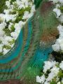 Pf5-azaleas